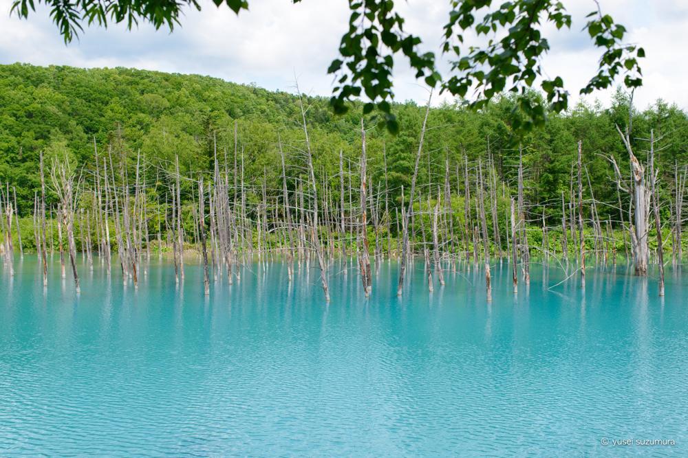 美瑛の青い池