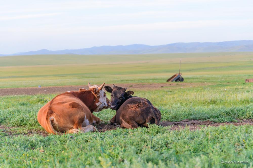 モンゴル 草原 牛