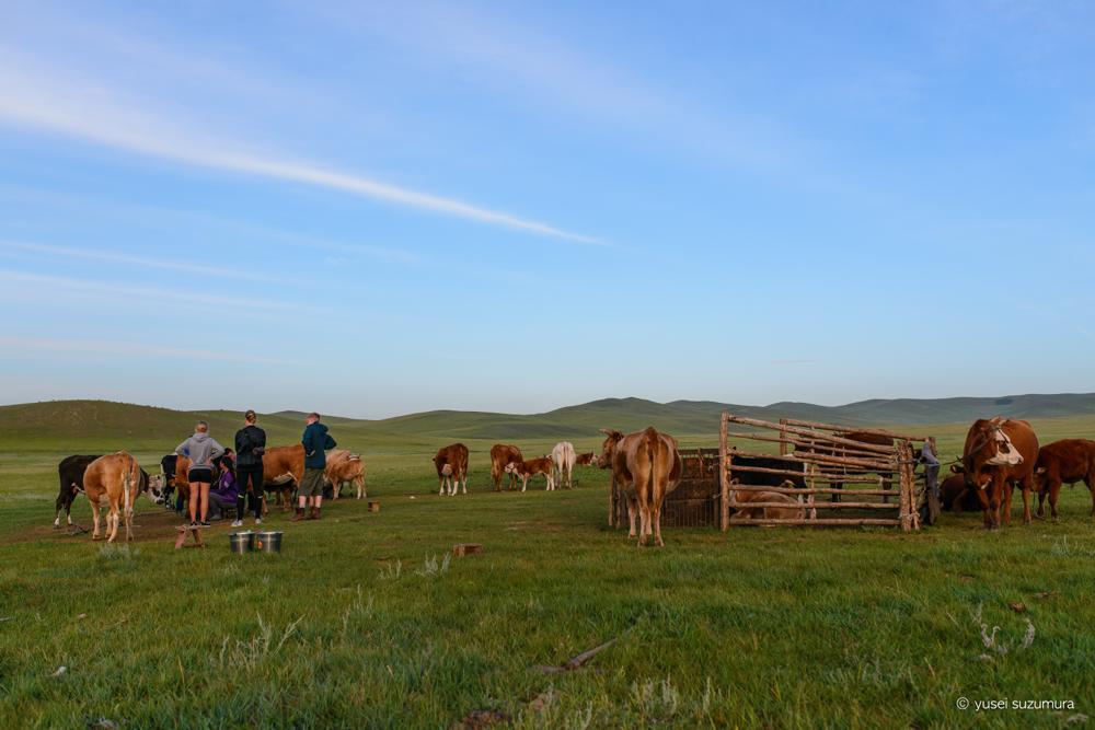 モンゴル 牛
