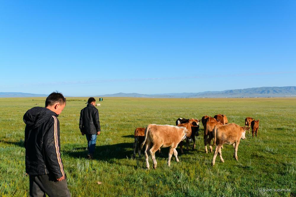 遊牧民 牛