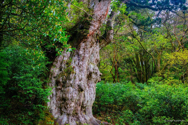 縄文杉 全景