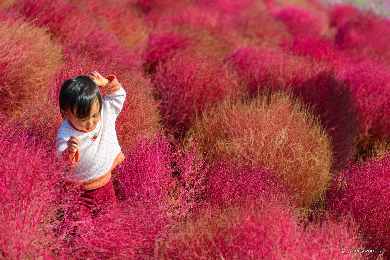 ひたち海浜公園のコキアの真っ赤な紅葉の海へ。