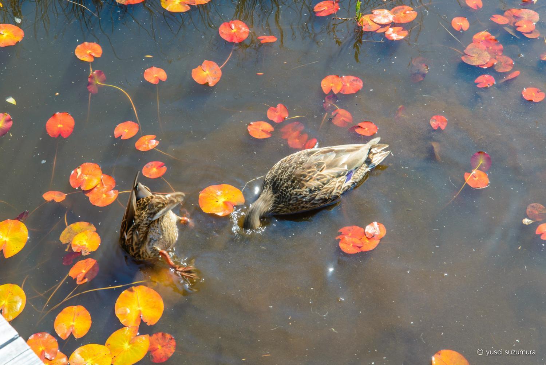 尾瀬の沼で餌を食べる鳥