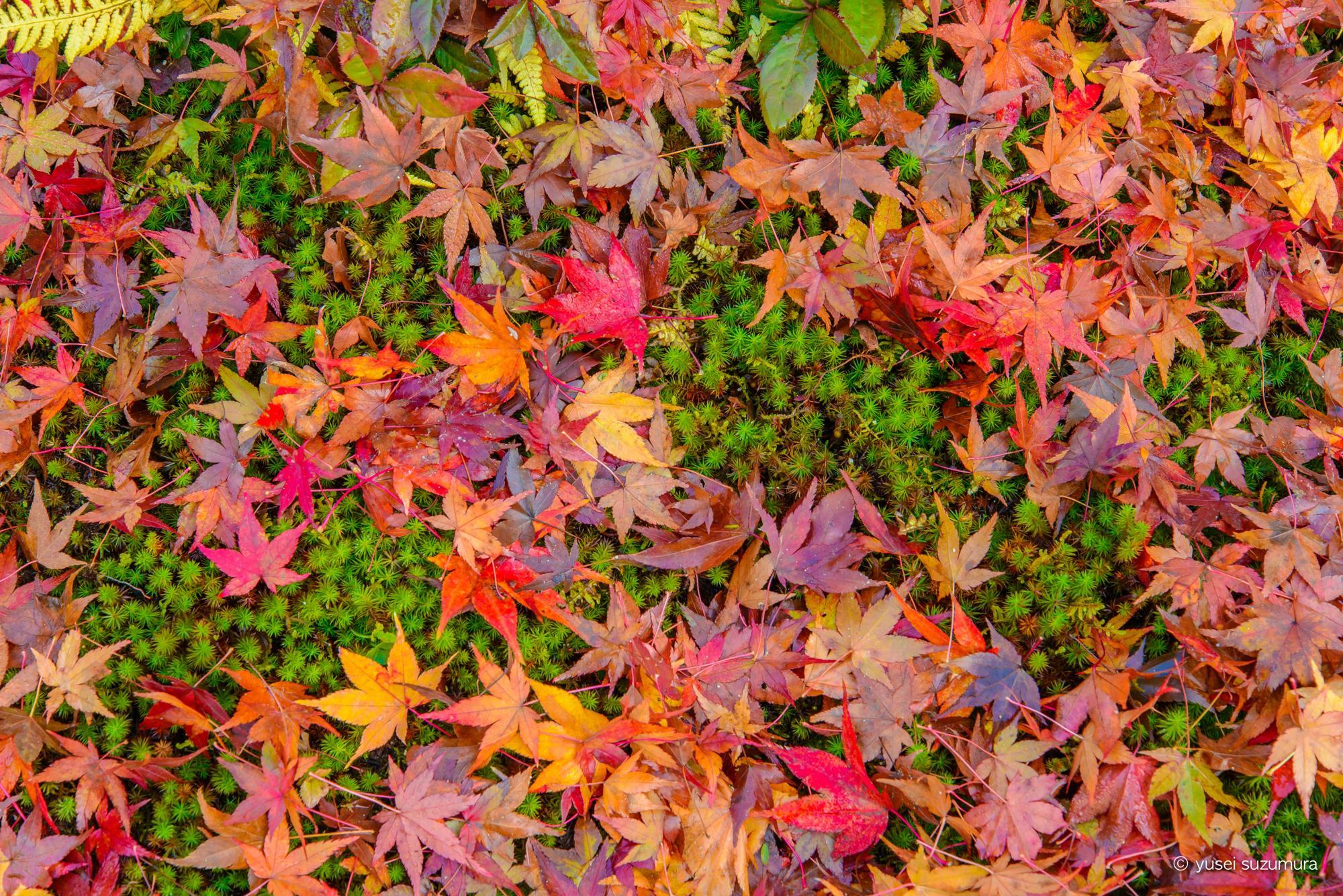 落葉までも美しい。紅葉の京都は例え雨でも葉が落ちても綺麗!