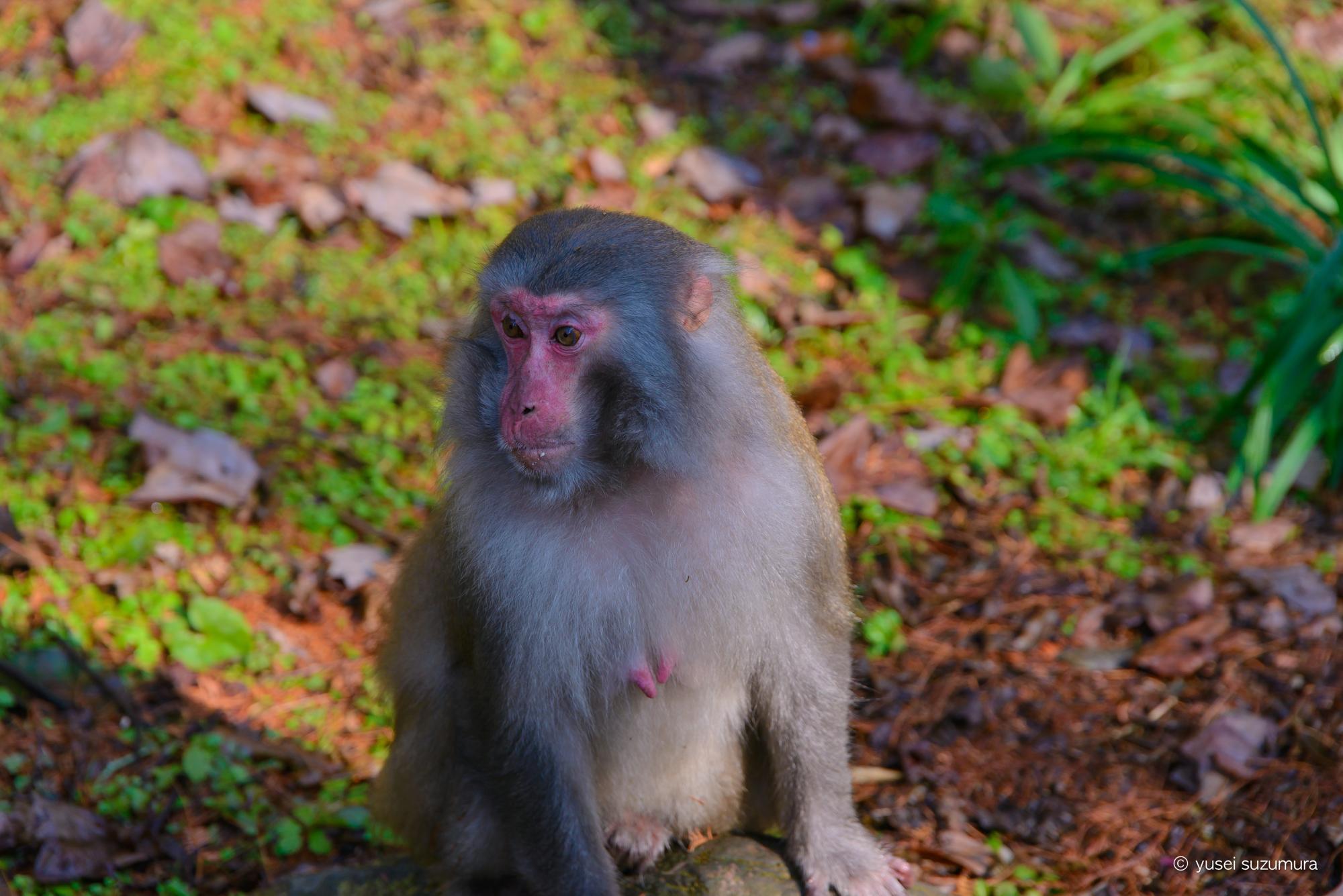 武陵源の野生の猿