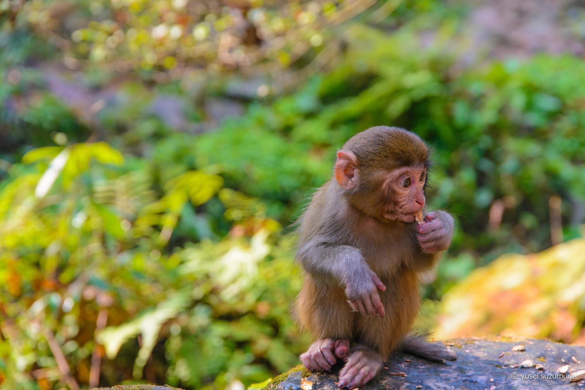 アブーに似ている猿