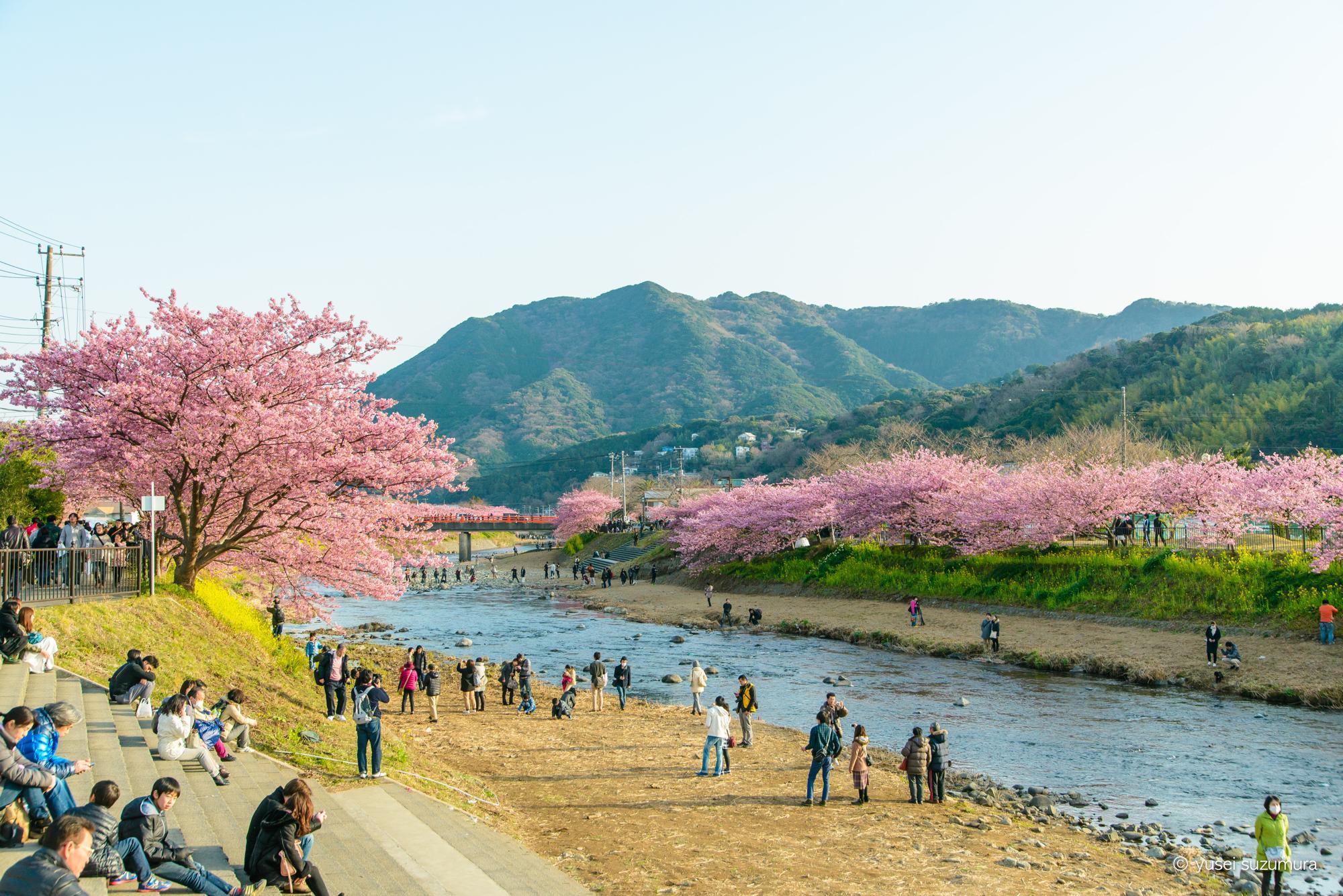 伊豆河津桜まつり