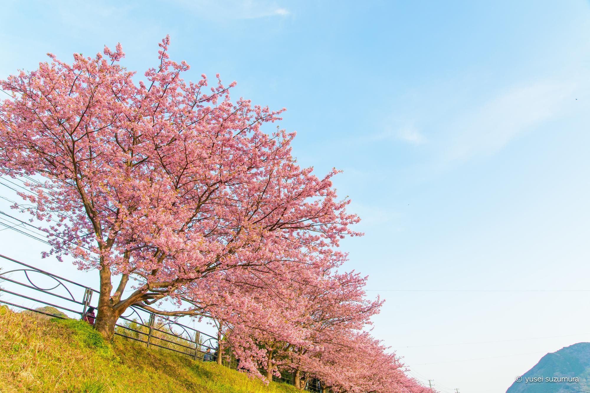 河津桜 並木道