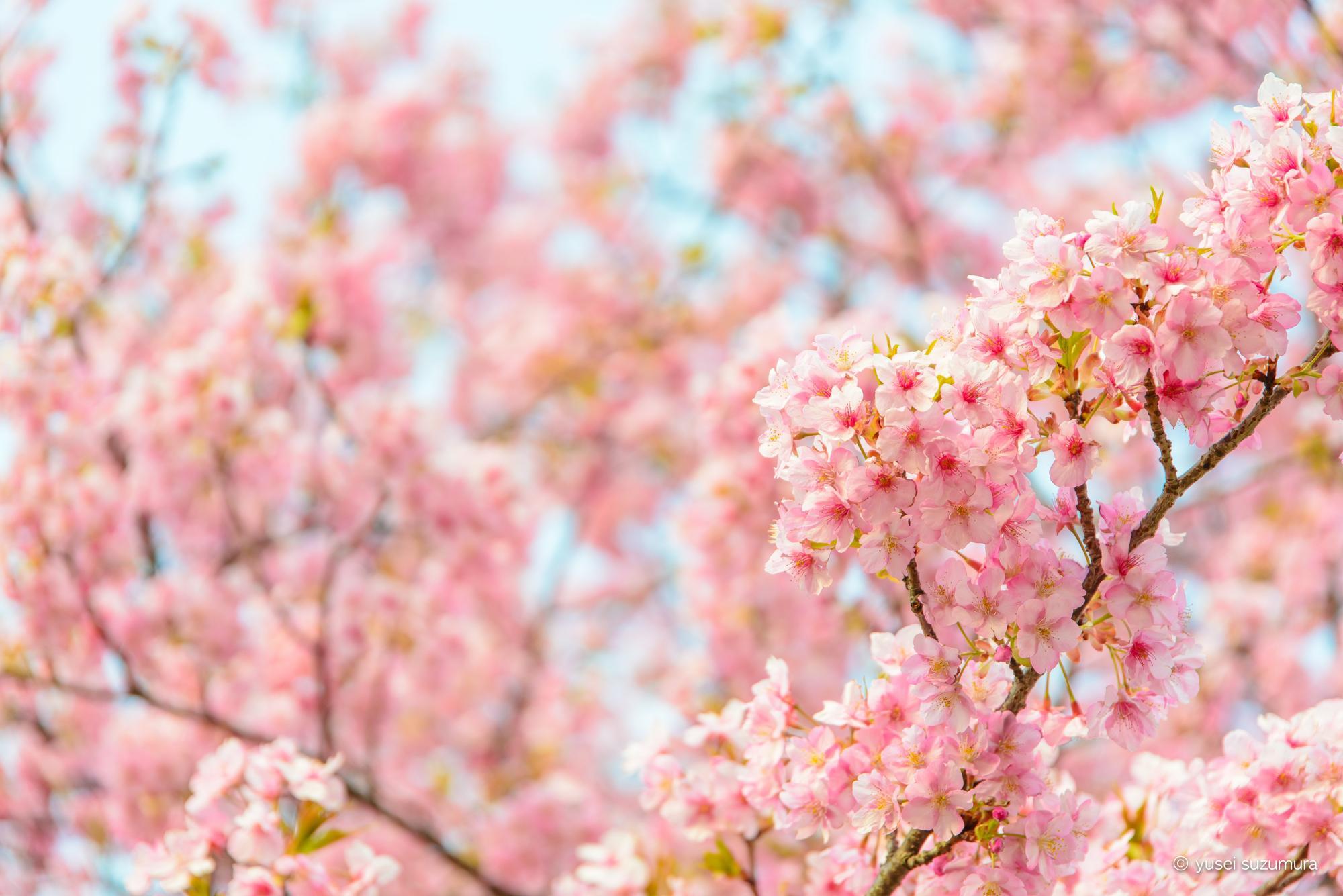 この場所だけは押さえたい!東京のおすすめ桜撮影スポットまとめ!