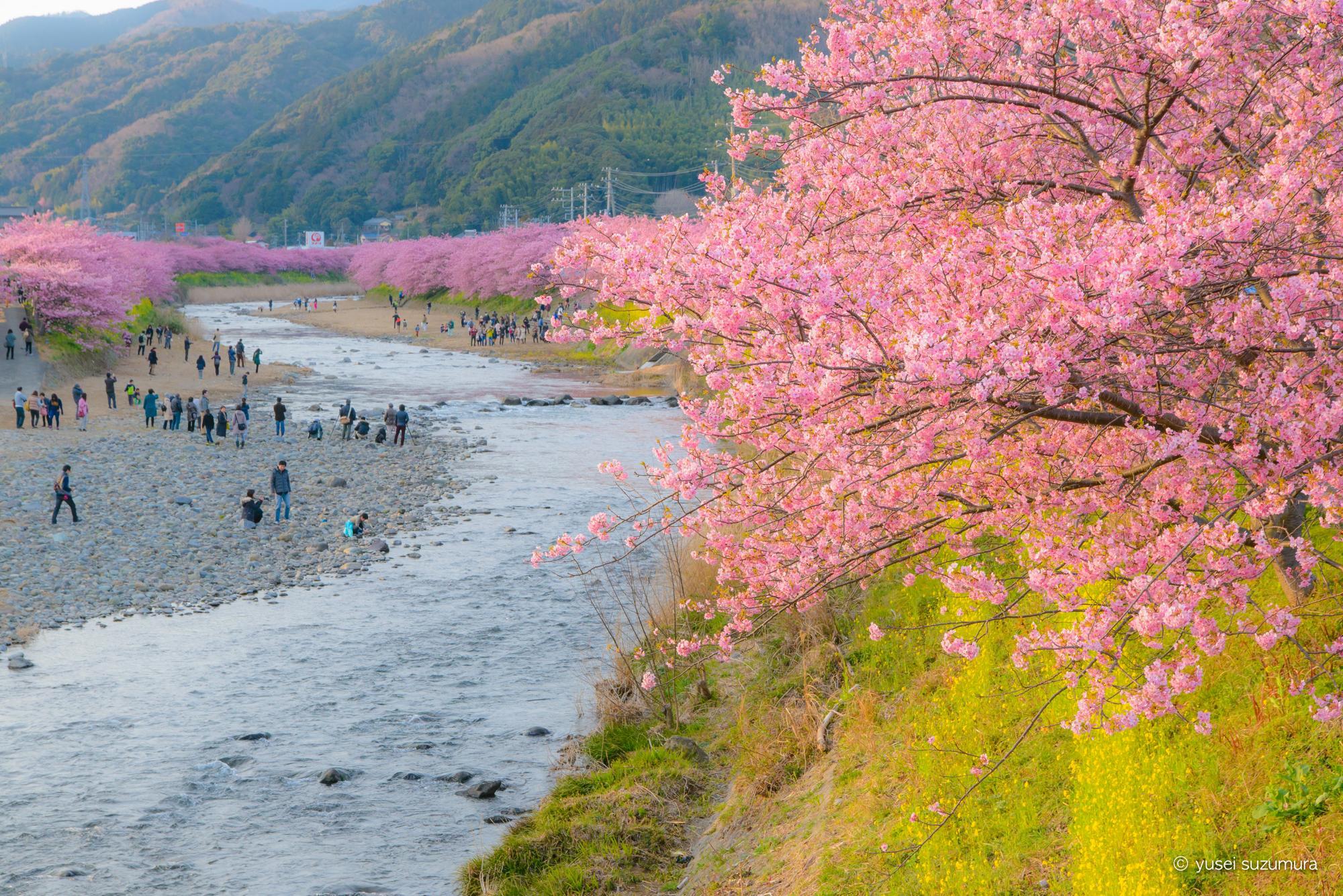 一足早いお花見!伊豆の河津桜まつりに行ってきた。