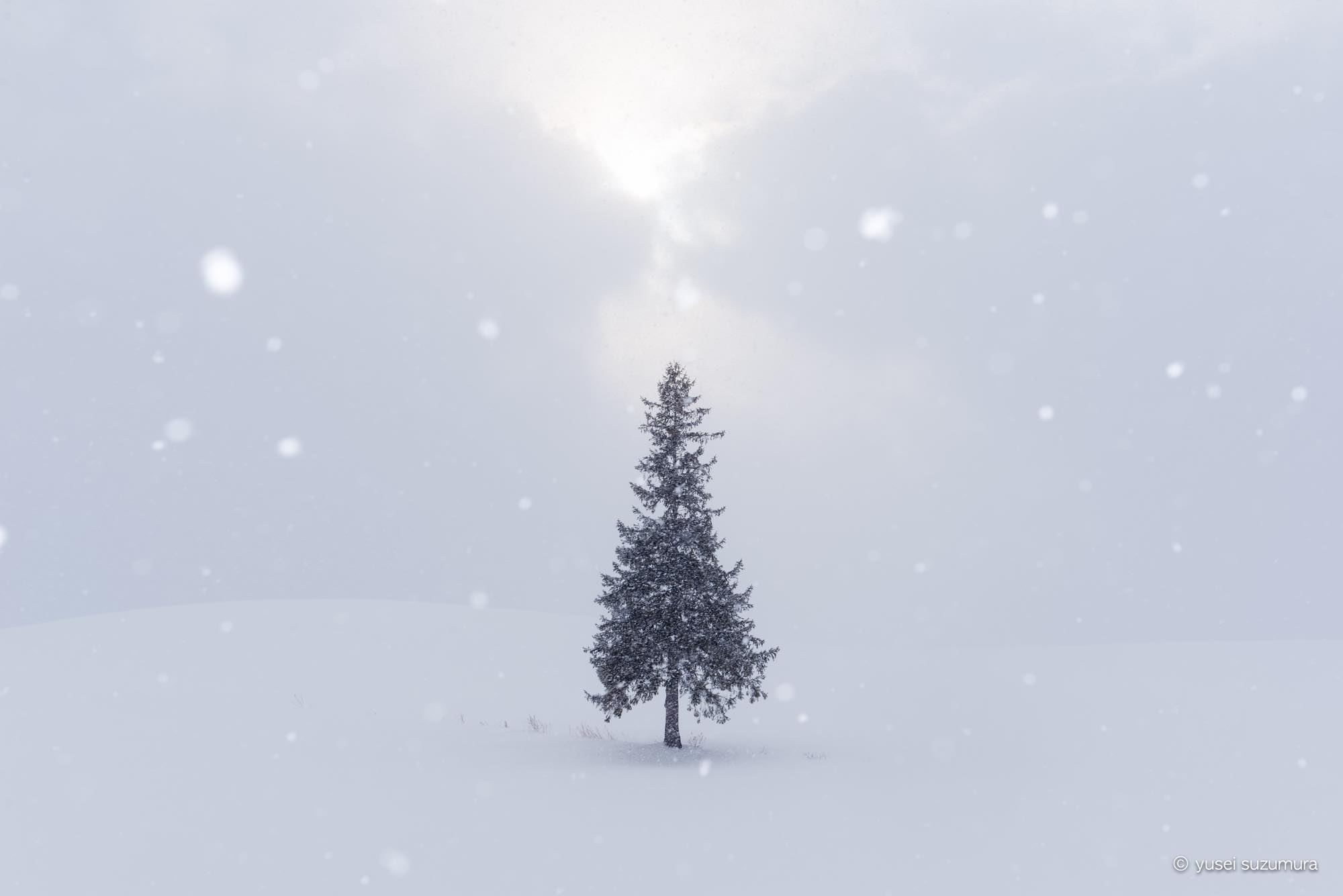 美瑛 クリスマスツリーの木