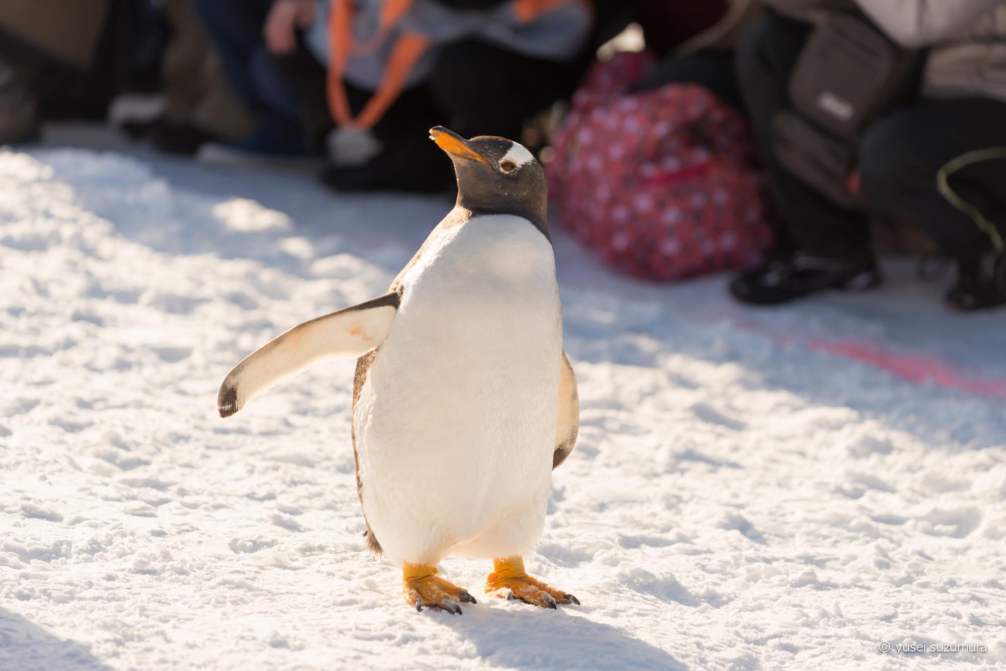 冬の美瑛と旭川動物園。ペンギン可愛い!!