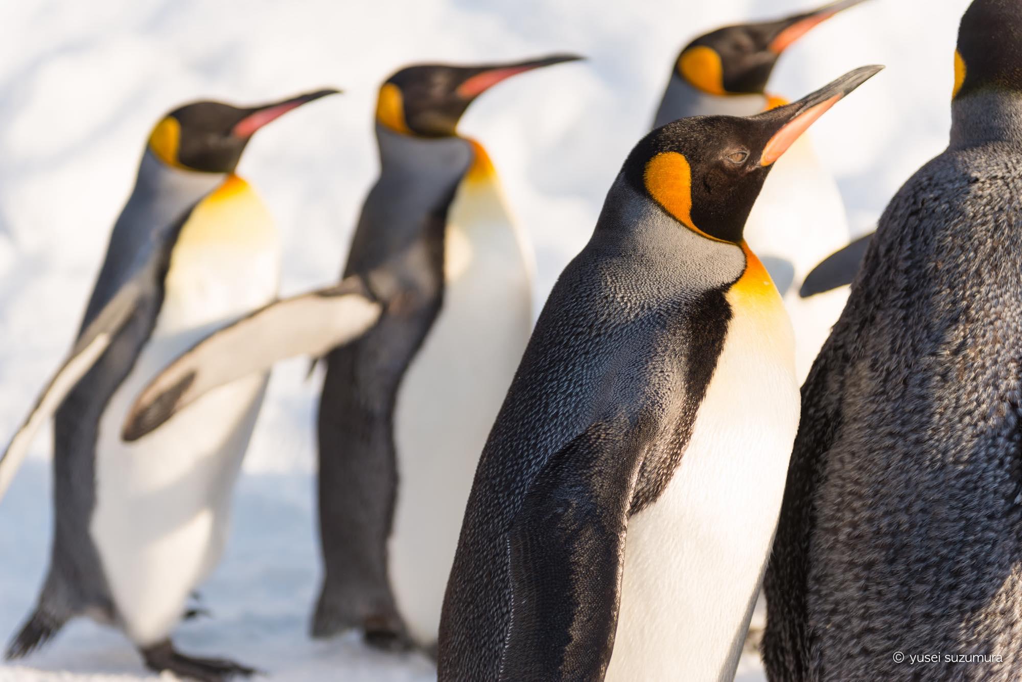ペンギ 冬 旭山