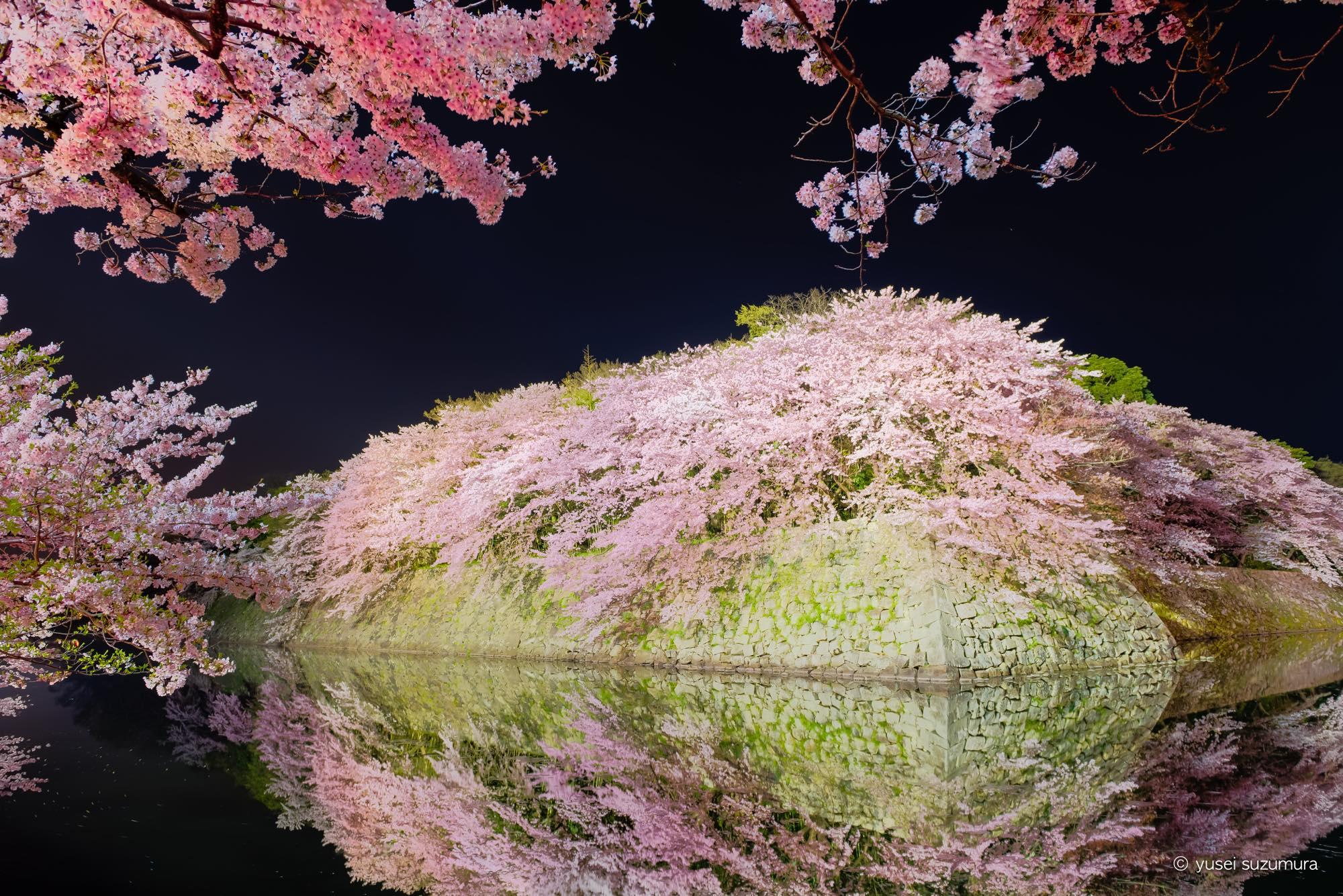 夜桜のミルフィーユ。幻想的な彦根城の桜ライトアップへ。
