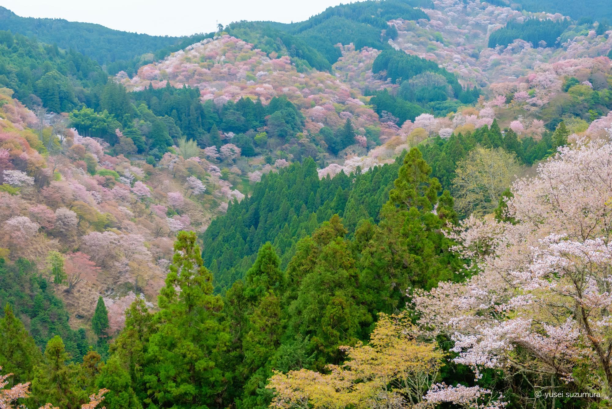 吉水神社 桜 満開 展望