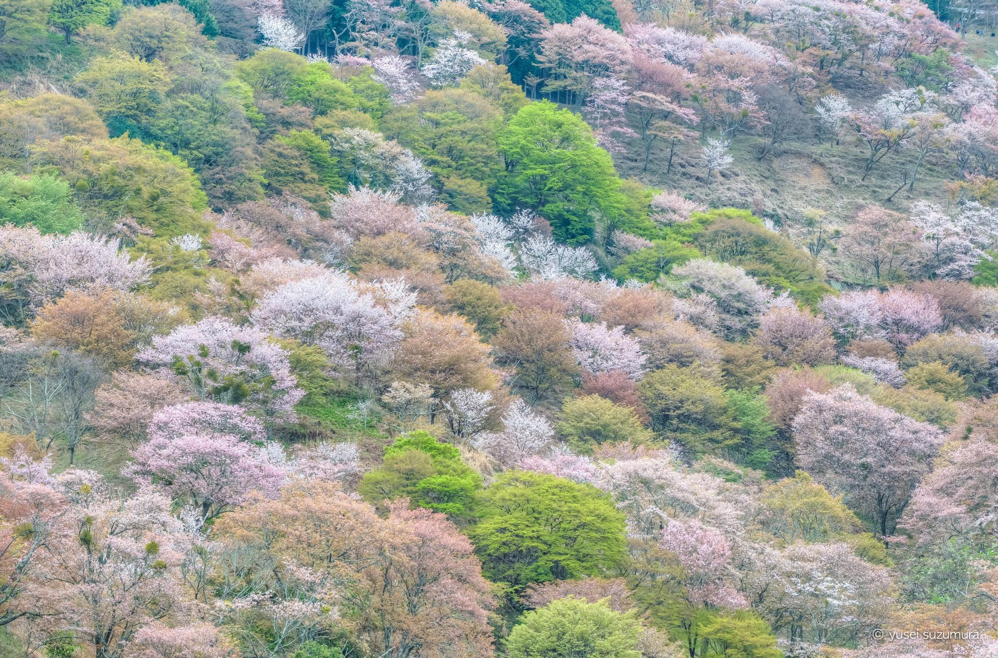吉野山 桜 撮影