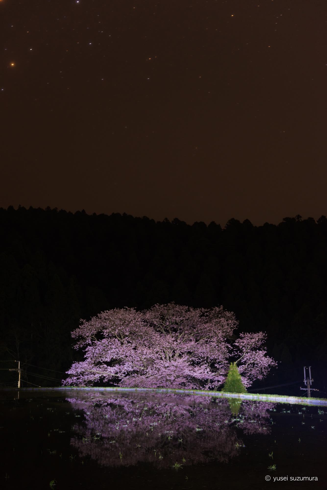 諸木野の桜 宇陀