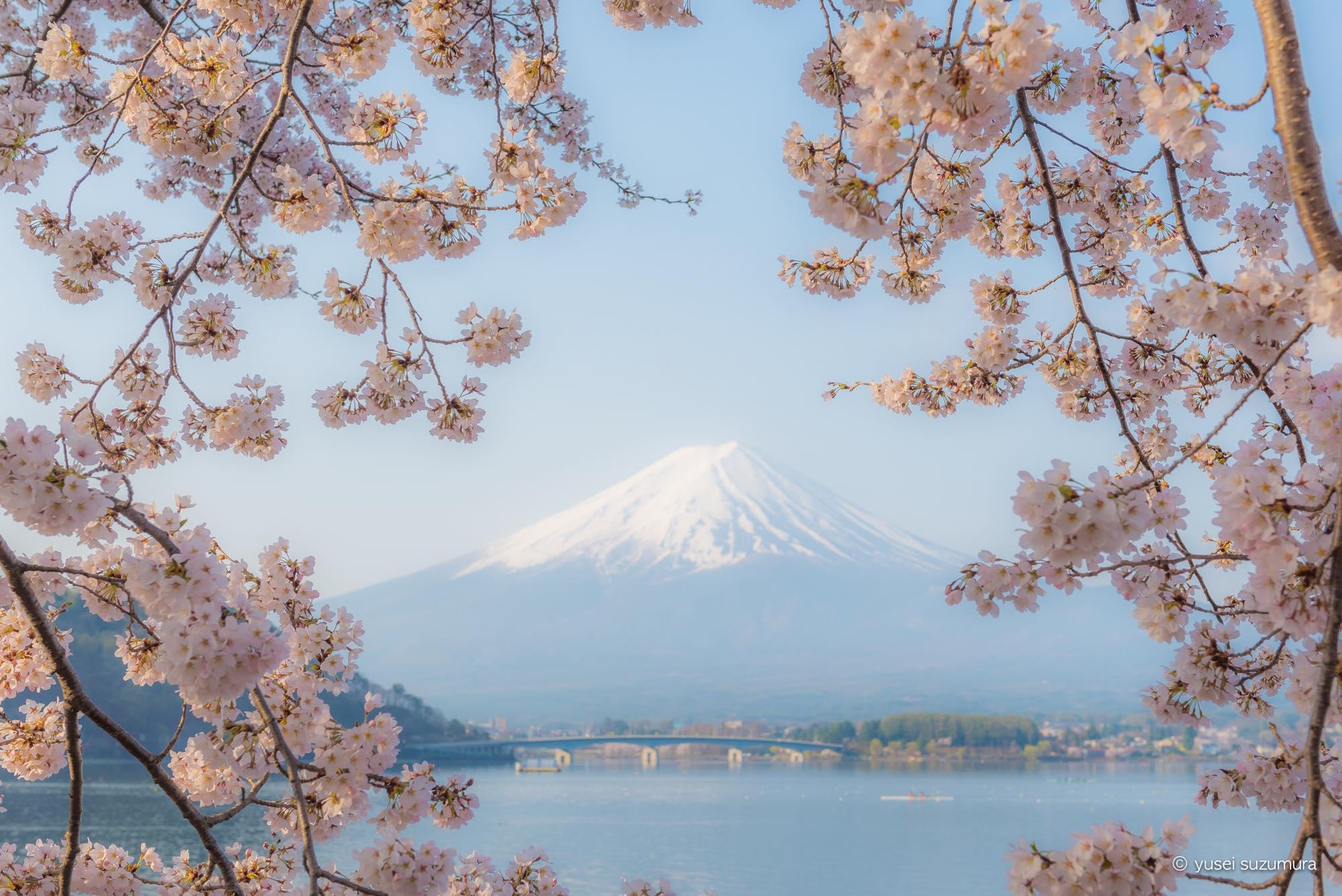 ここは桃源郷ですか?桜の季節の河口湖が美しすぎた。