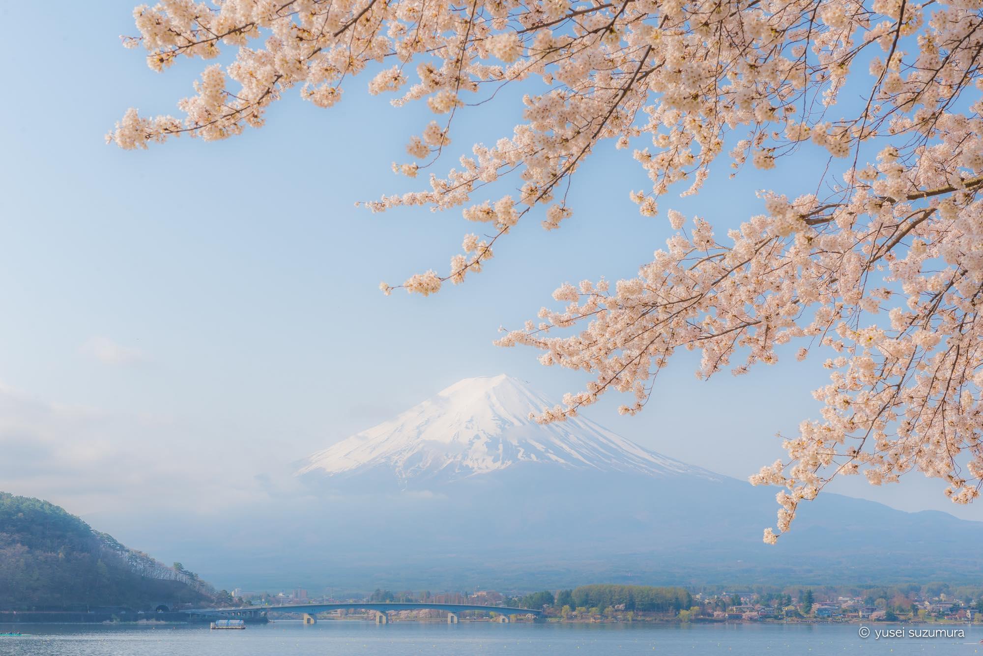 富士山 河口湖 桜