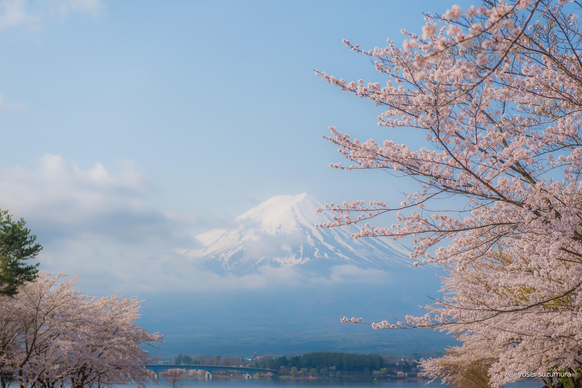 富士山 桜