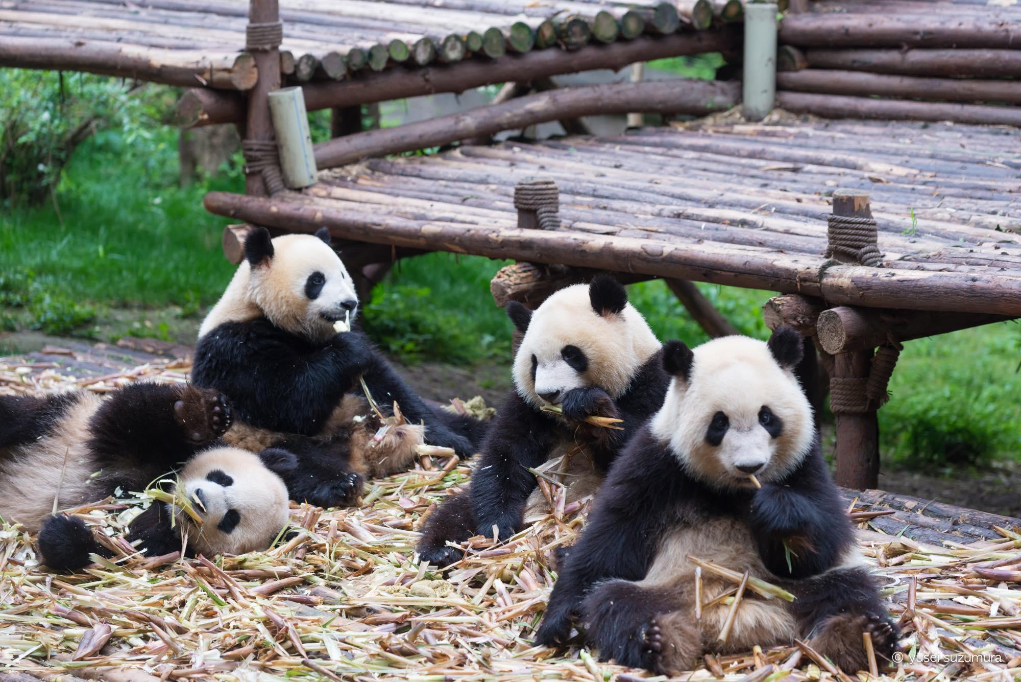 成都まる一日観光!愛くるしいパンダと激ウマ麻婆豆腐。