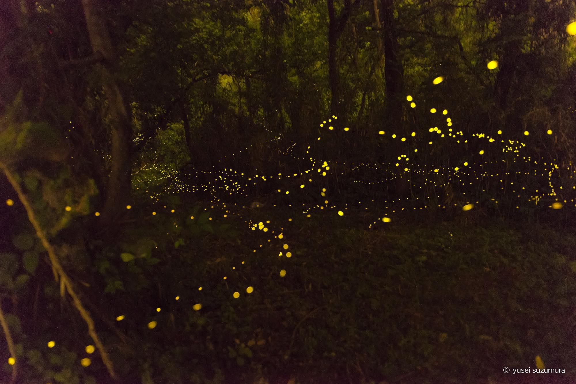 初めてのヒメボタル撮影!闇に漂う光のイリュージョン。