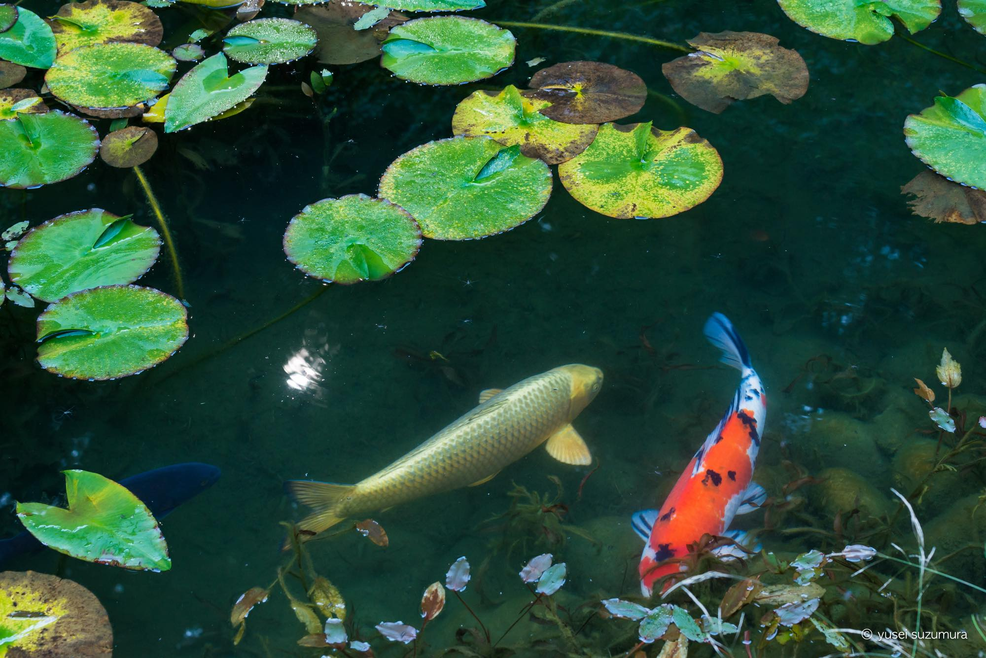 モネの池 金色の鯉
