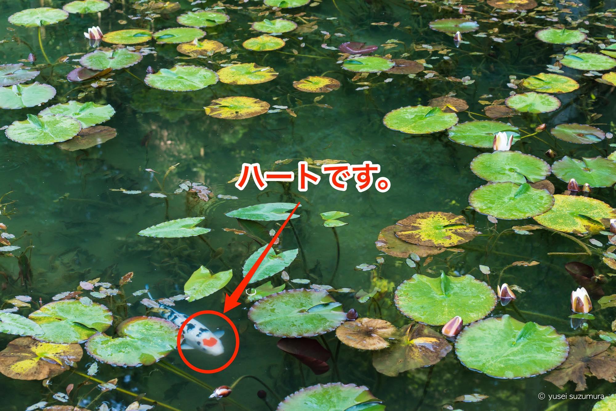 モネの池 ハートマークの鯉