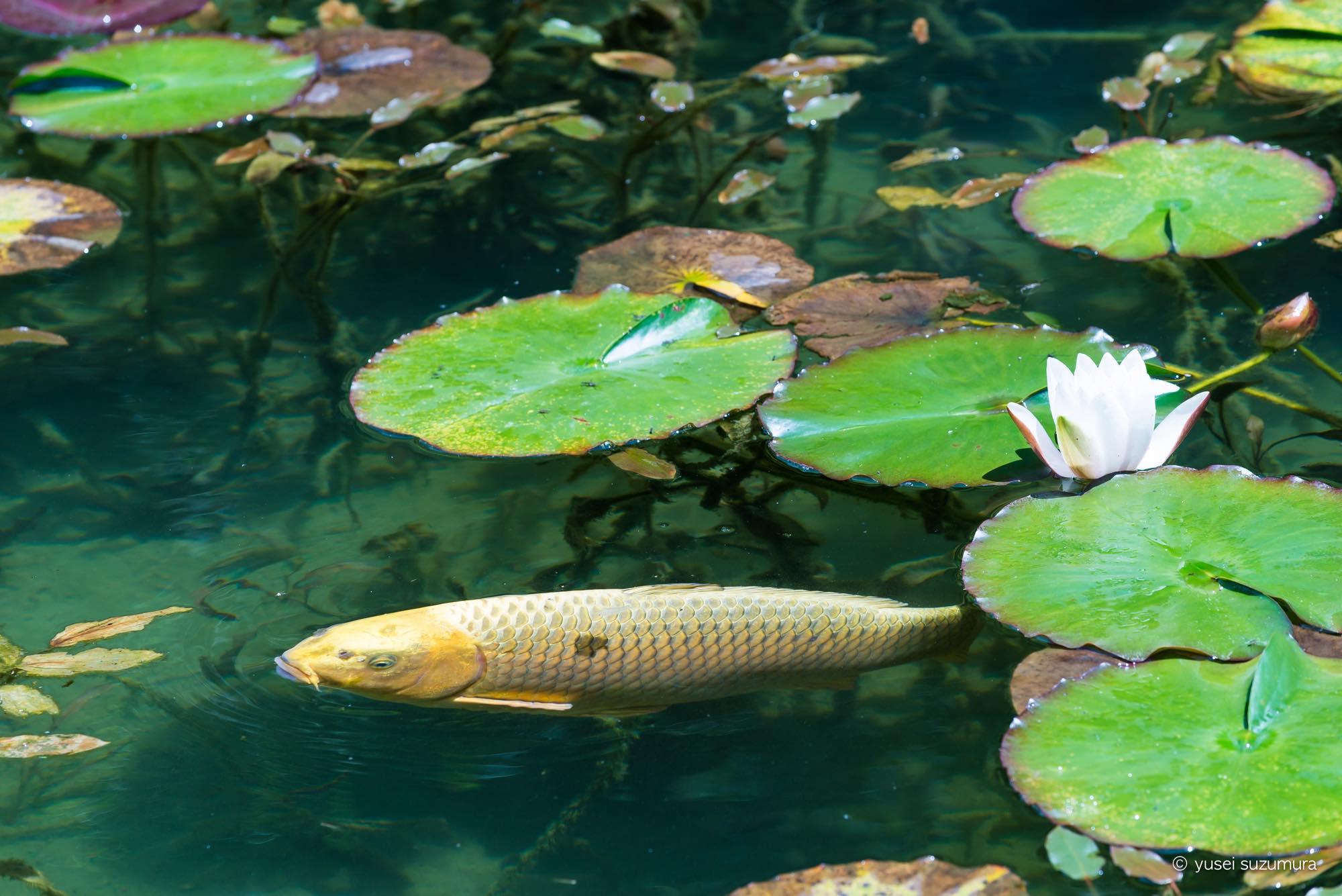 睡蓮 モネの池