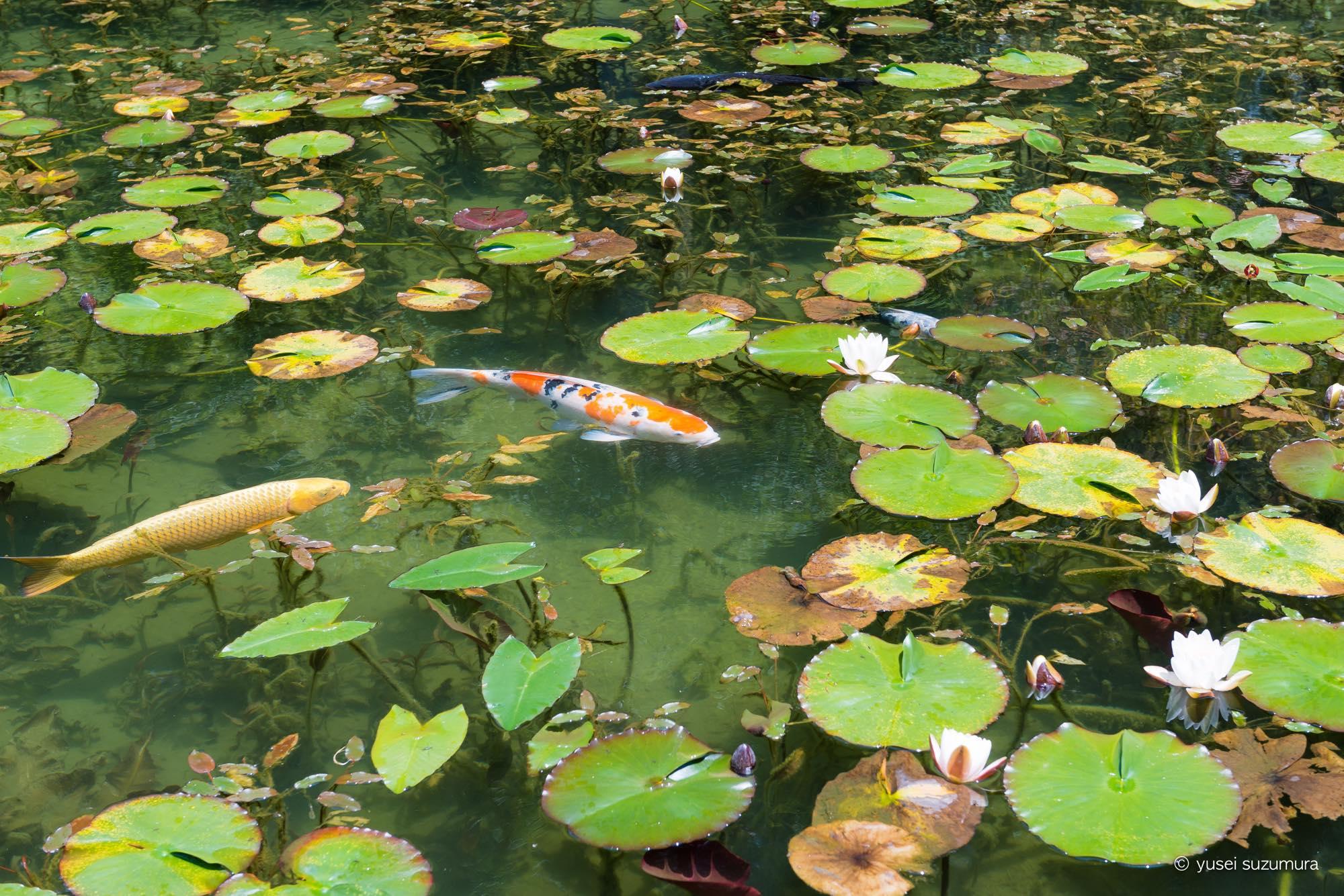 睡蓮が咲く季節に岐阜県関市のモネの池に行ってきました。