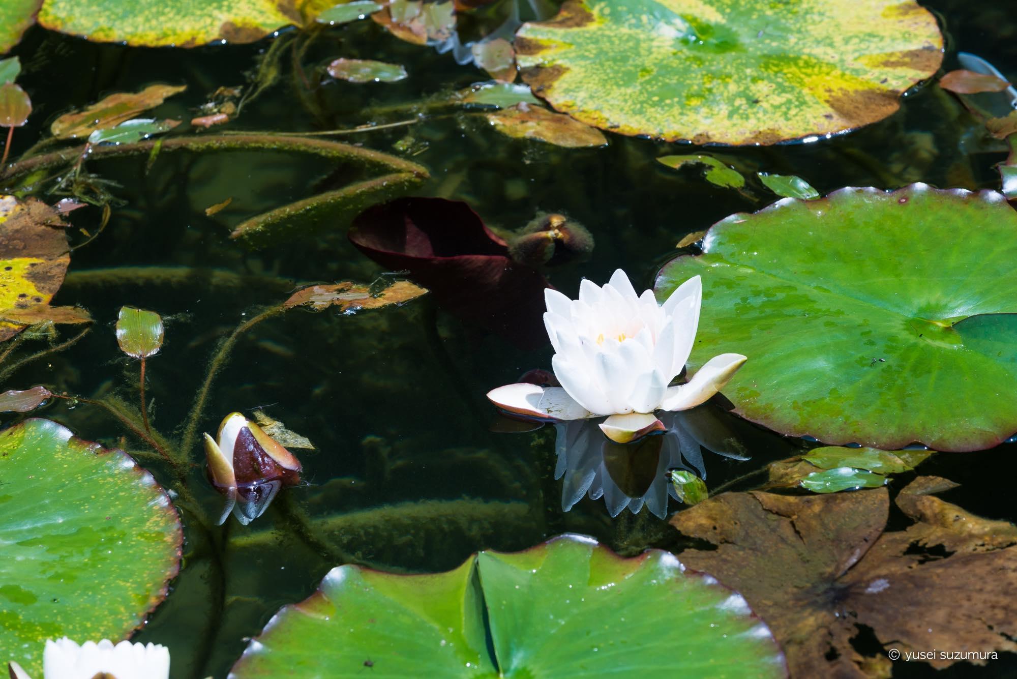 睡蓮 開花 見ごろ モネの池