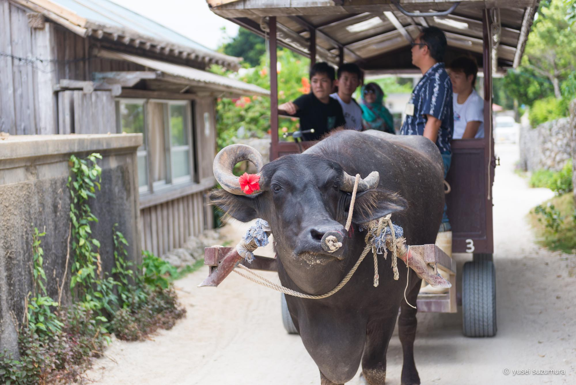 竹富島 牛舎