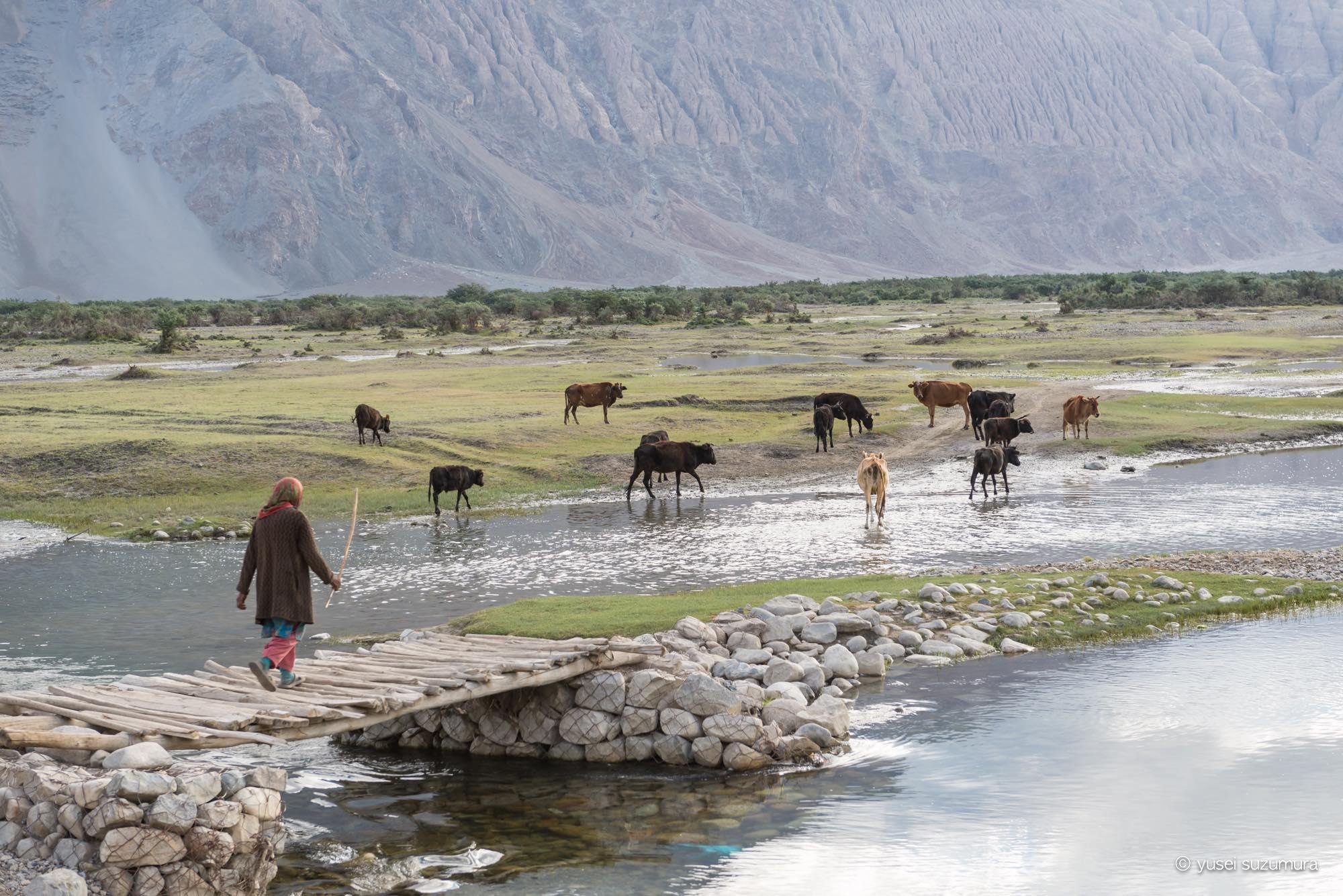 牛 放牧 フンダル