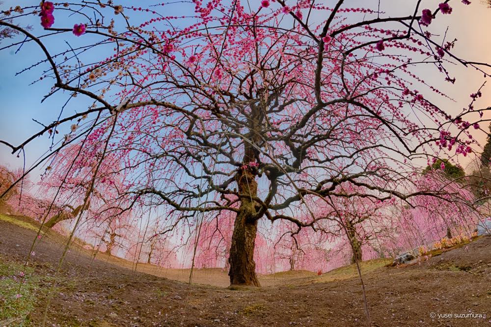 鈴鹿の森庭園で満開のしだれ梅を撮影!
