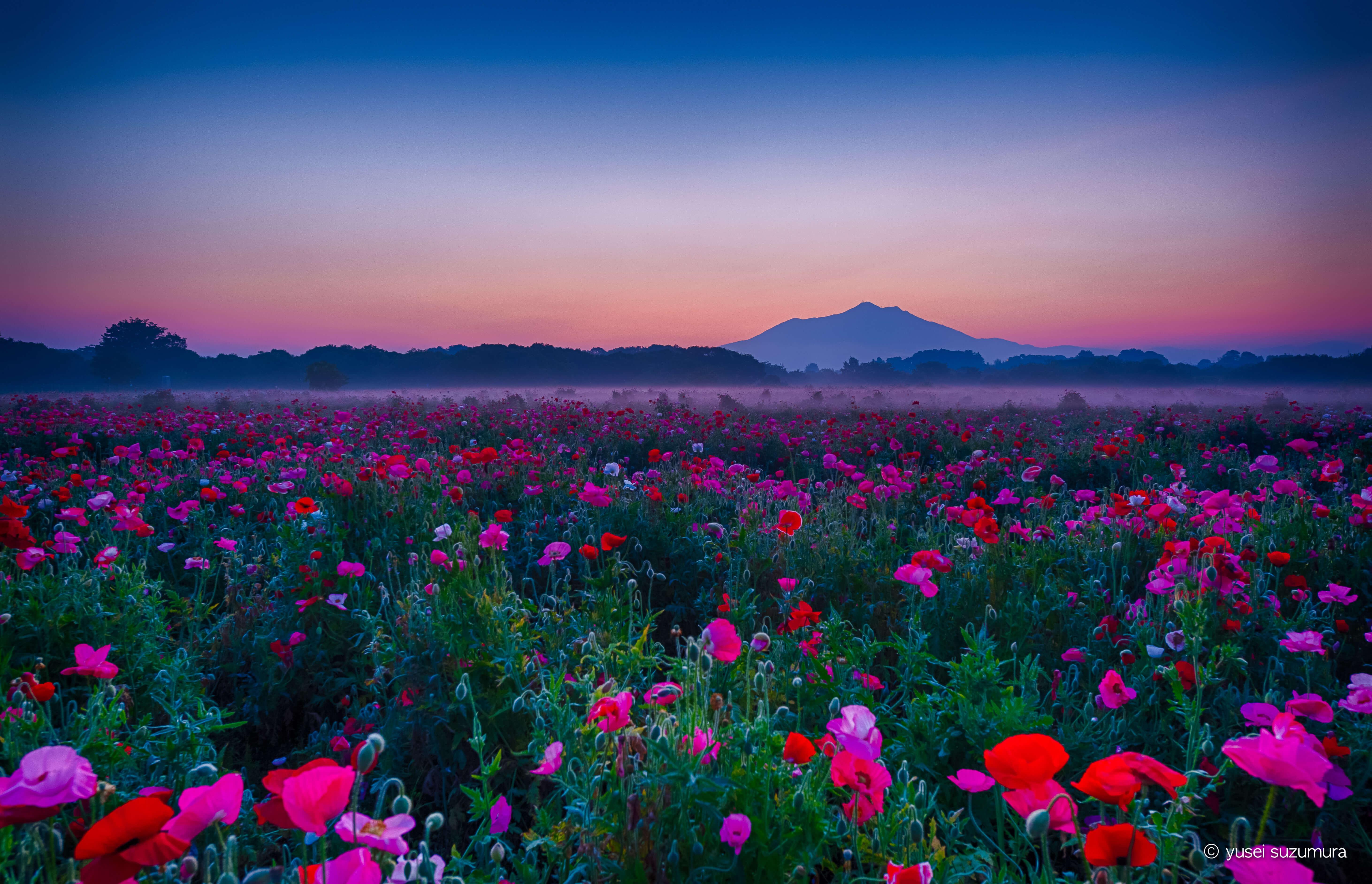 小貝川ふれあい公園で朝靄のダイヤモンド筑波山&ポピーを撮影!