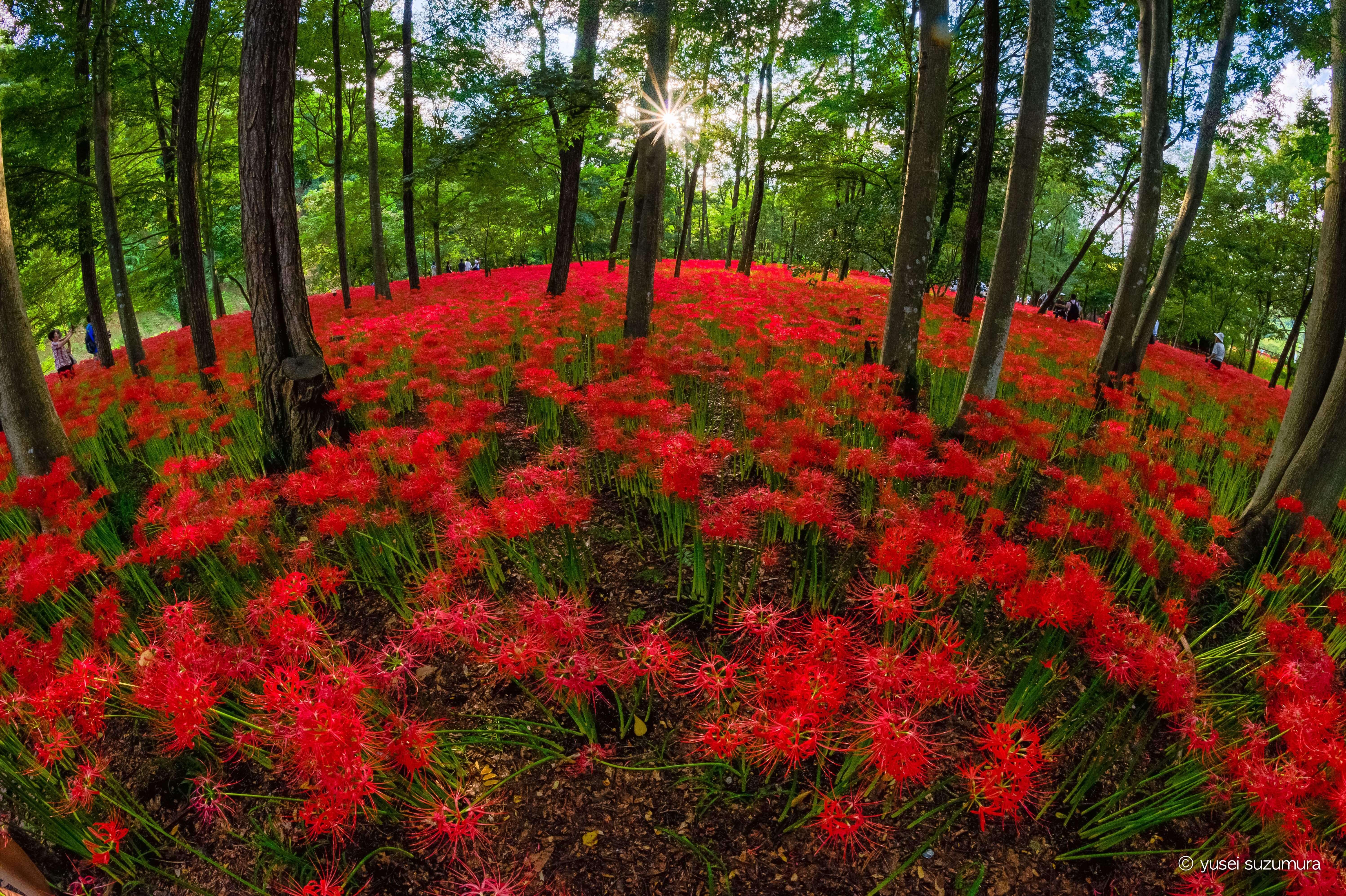 まるで赤い花の絨毯!巾着田曼珠沙華まつりに行ってきた。