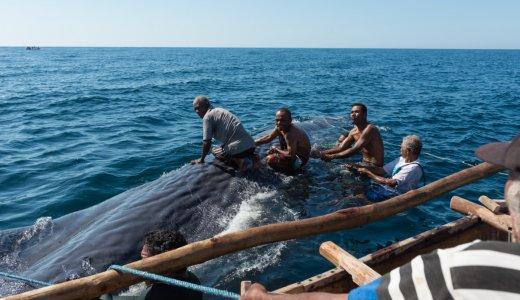 【ラマレラ村滞在記】初めての乗船でマッコウクジラを捕まえる。