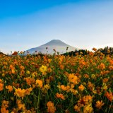 山中湖の花の都公園にて富士山とひまわりとコスモスを絡めて撮影してきた。